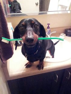 The Dachshund Dentist will see you now! Don't forget to #brush! :)   #Dental #brushing #kids #dachshund #koolsmiles #humor #dogs #teeth