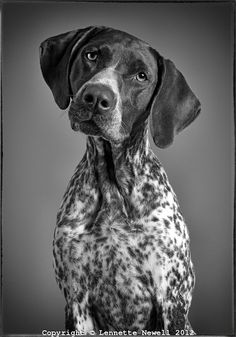 Sweetest dogs ever. Black and white portrait of German Shorthaired Pointer Lennette Newell Photography