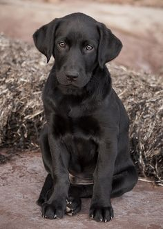 Black Labrador with set face, ears forward, nice coat.