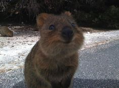 Meet The Happiest Animal In The World - his is a quokka, a cuddly, cat-sized marsupial from Australia.