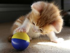 . crazy cats, kitty cats, balls, kitten, exercise ball, pet pictures, kitti, crazy cat lady, animal