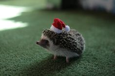 hedgehog, dress, pet, santa baby, christmas, happy holidays, mini, animal, hat