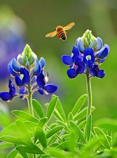 Blue bonnets and bees