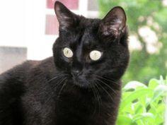 Irondelle est une très jolie panthère noire d'environ 3 ans, gentille, sociable, calme mais aussi joueuse et très gourmande ! Chats libres de Colomiers(Haute-Garonne)