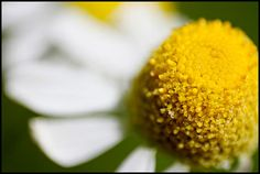 Chamomile tea has been consumed for hundreds of years. It is made by infusing German chamomile (Matricaria recutita), a member of the sunflower family, in hot water. Roman chamomile (Chamaemelum nobile) is also beneficial, but most research has been done on German chamomile and it is the most commonly used in teas.    Here are eight health benefits of this popular tea:    Better Sleep  Chamomile tea's most well-known benefit is as a sleep aid. It is known for its relaxing and soothing properties a...
