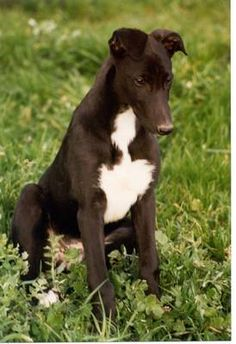 anim, puppies, greyhounds, greyhound photo, black greyhound, greyhound puppi, sighthound, dog pictures, dog galor