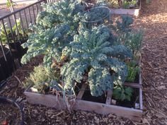 Our kale has been like this in 3 boxes for over two months now and we will be harvesting most of it this month to make room for some other plants to grow.  Right now we are planting the seeds under the umbrella of the kale to help with the heat until they are big enough to fend for themselves.