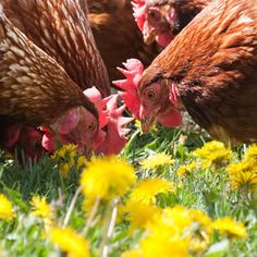 . backyard chicken, garden