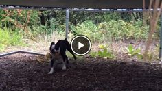 Check Out How this Boston Terrier is Creative to Retrieve her Favorite Toy from the Trampoline!