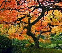 Japanese Maple--