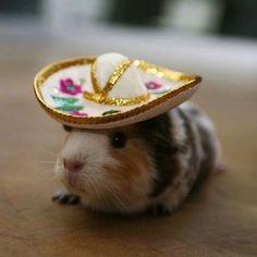 party animals, pet, fiesta, sombrero, baby animals, hamster, hat, cinco de mayo, guinea pigs