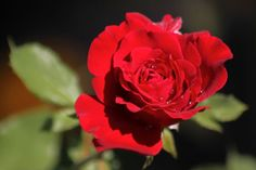 Oklahoma Rose: Dark red, fragrant, and an impressive 5 inches across, the blooms appear in flushes throughout the growing season. Like all hybrid tea roses, 'Oklahoma' requires full sun and ample water. It can be grown in the ground or in a winter-protected container.