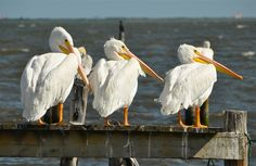 White Pelicans, Sebastian, Florida