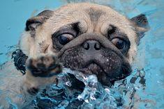 pug in water, pug paddl, dog, puggi paddl