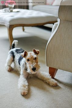 Fox Terrier Puppy Dogs