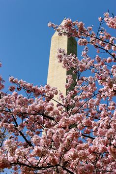 Cherry Blossoms in Washington DC with the Washington Monument