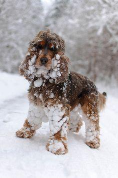 snow covered Cocker Spaniel
