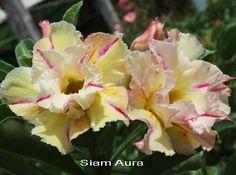 Siam Aura TRIPLE flower Adenium Obesum Desert Rose