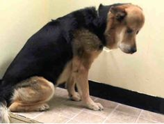 OMG!!! very POOR shepherd with LARGE MASS on HEAD Needs out NOW!  SUPER URGENT Manhattan Center    SMOKEY - A0996868    NEUTERED MALE, BLACK / BROWN, GERM SHEPHERD MIX, 10 yrs  STRAY - STRAY WAIT, HOLD FOR ID  Reason STRAY    https://m.facebook.com/photo.php?fbid=788214427858105&id=152876678058553&set=a.617942388218644.1073741870.152876678058553&source=43