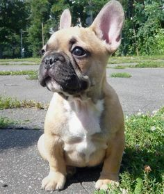 French Bulldogs! I want one in this color!