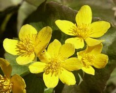 "Marsh Marigold:  ""Desire for Riches"""