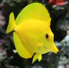 One of my other favorites from the saltwater tank days - Yellow Tang - ours were named Yaaa