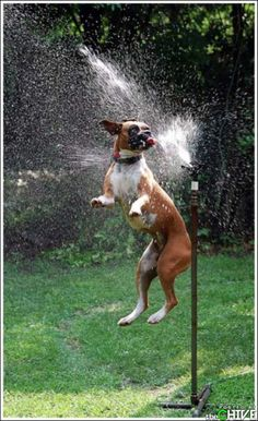 Adorable Boxer. This picture makes me happy.