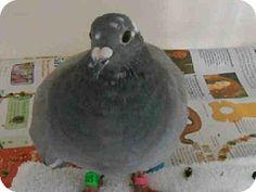 Orange, CA - Pigeon. Meet A1273518 a Pet for Adoption via @Adopt-a-Pet.com