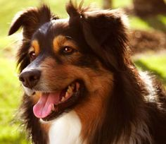 Aussies are one of the smartest, loyal and fun dog breeds ever....