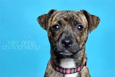 "Bitsy is an approximately 8 mos. to 1 year old chihuahua/terrier mix. She weighs just about 8 pounds and is just a little bit cute! Her southern foster mom says that in the looks department this brindle beauty ""resembles a Mountain Cur that..."