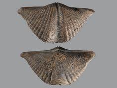 Brachiopod, Mucrospirifer thedfordensis, photo by Herman Giethoorn
