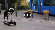 Watch this Amazing Boston Terrier Biker Dog Scootering VS a Tramway in France! ► http://www.bterrier.com/?p=17426 - https://www.facebook.com/bterrierdogs