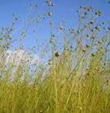 Flax Growing in Field