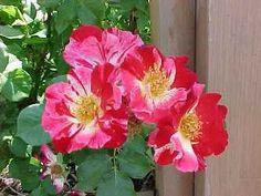 Four of July rosal trepador
