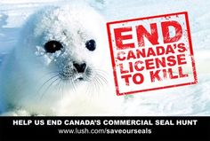 Disgusting seal skin trade, involving clubbing baby seals to death.