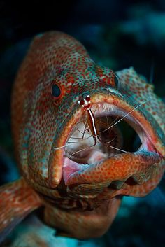 Grouper & cleaning shrimp