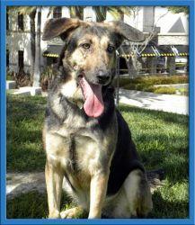 Agatha is an adoptable German Shepherd Dog in Irvine, CA. Agatha is a playful gal who loves, loves, loves her toys! She's a happy girl who loves to go on walks. www.coastalgsr.org