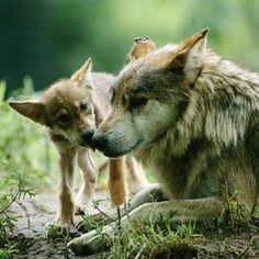 Thought to be extinct in the wild with about 140 in captivity, the Mexican gray wolf is being bred for re-release