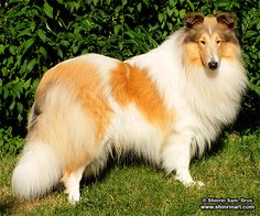 My rough collie boy, Yuki  ^_^