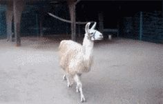 The most fabulous llama. | 33 Animal GIFs That Are Guaranteed To Make You Laugh. Anybody think of emperor's new groove