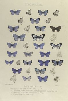 Free printable collection of antique butterfly prints.  This collection is breathtaking.  From the New York Public Library Digital Gallery