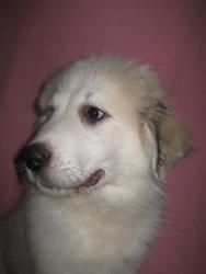 Great Pyrenees puppy http://tipsfordogs.info/