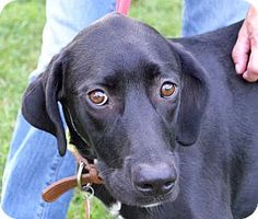 Searcy, AR - Labrador Retriever/Great Dane Mix. Meet Jewel, a dog for adoption. http://www.adoptapet.com/pet/11572778-searcy-arkansas-labrador-retriever-mix
