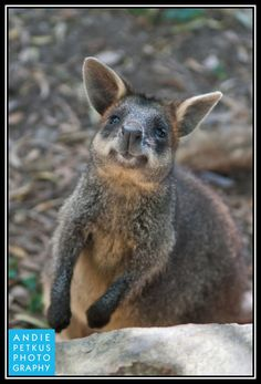 A wallaby welcome in Australia.