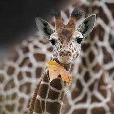 baby giraffe with leaf