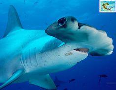 . fishsea life, hammerhead shark, sharksst rayssawfish, animal marino, fauna marina, marin life, beauti shark, beach life, ocean life