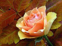 cc  The last  rose of summer.