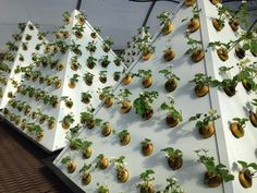 Consider aeroponic #gardening to grow #vegetables and #herbs; Dr Piazza believes fresh is best #green #organic