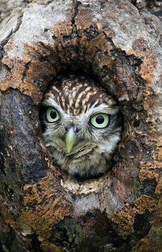 ~~Little Owl by raysanderson50~~