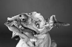 Dog Shaking galleries, dog ladiesbestfriend, dogs, dog stuff